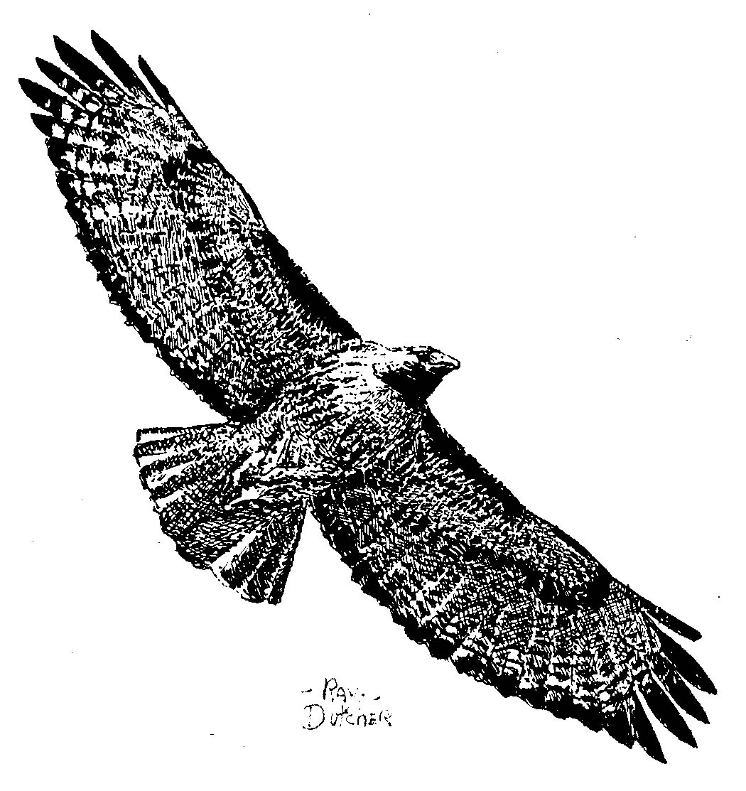 drawing of a red tailed hawk
